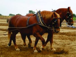 Suffolk Punch Horse1